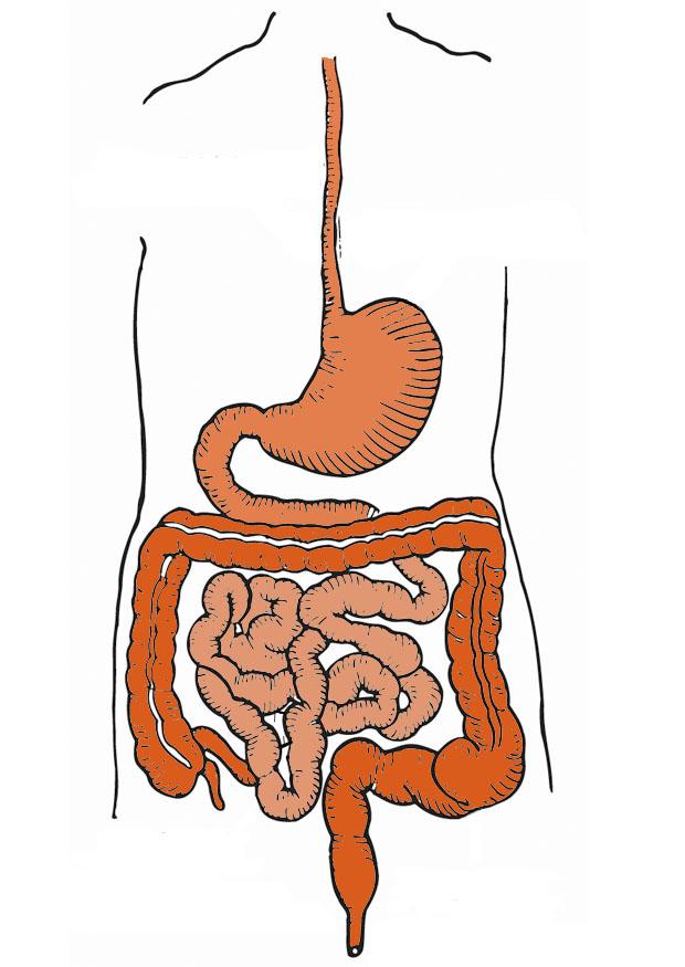 digestive-track