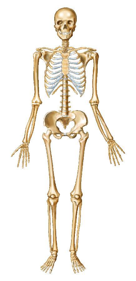 16 on human body skeleton diagram labeled printable