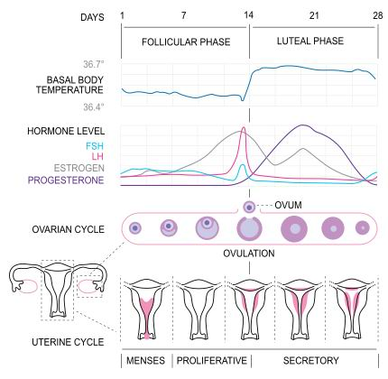 Menstrual Cycle - Pregnancy Problems